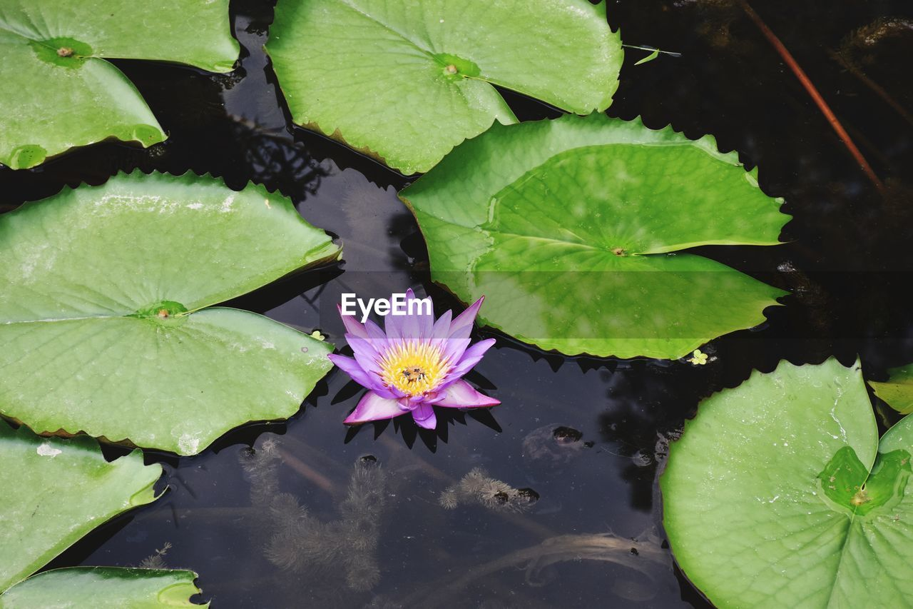 leaf, plant part, flower, water, water lily, floating, flowering plant, beauty in nature, pond, floating on water, growth, plant, green color, freshness, vulnerability, fragility, nature, close-up, no people, pink color, lotus water lily, flower head, outdoors, purple, leaves