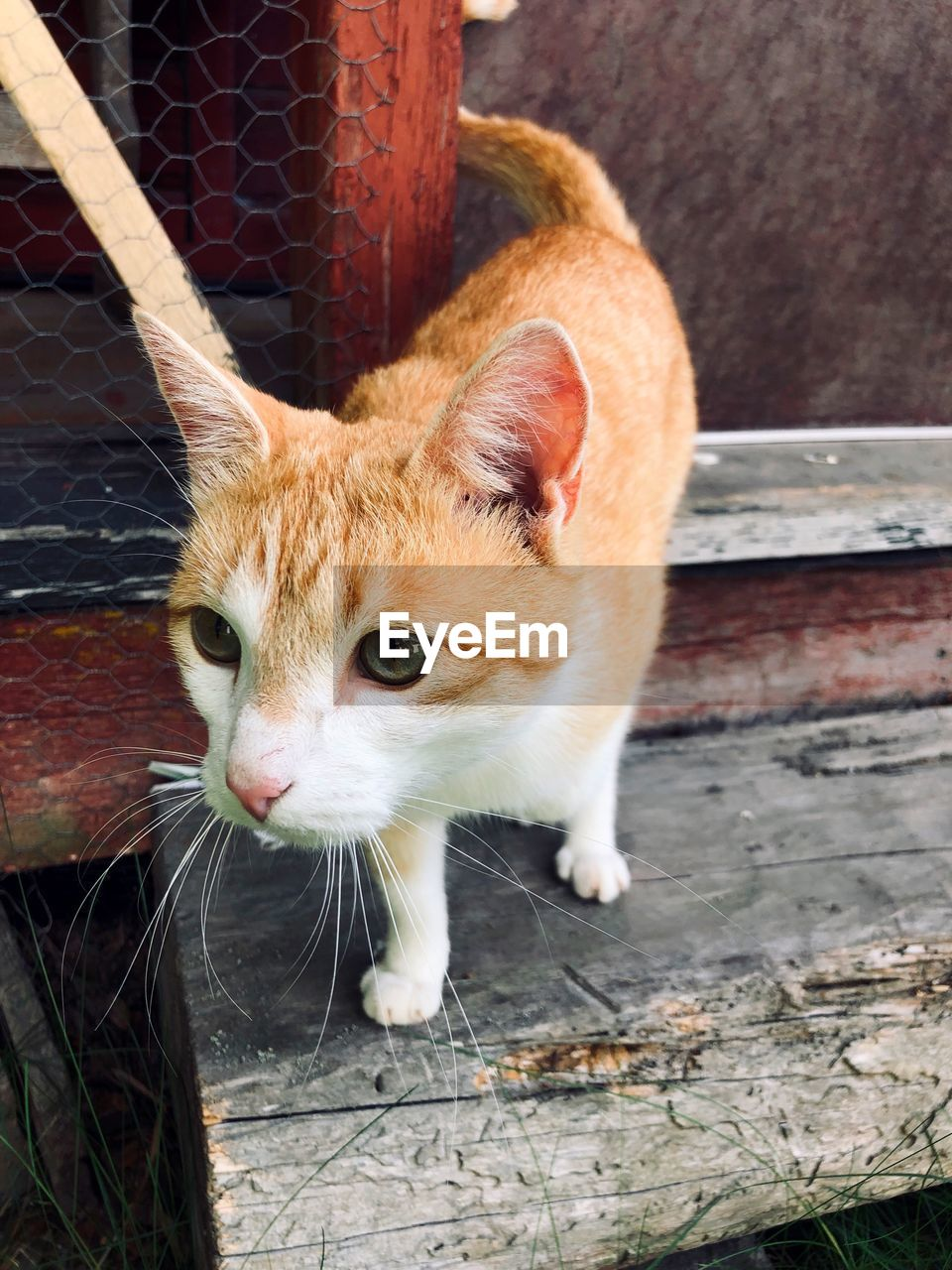 mammal, one animal, animal themes, pets, domestic, animal, domestic animals, cat, feline, domestic cat, vertebrate, whisker, day, no people, close-up, looking at camera, high angle view, looking, portrait, outdoors, animal head, ginger cat, wheel