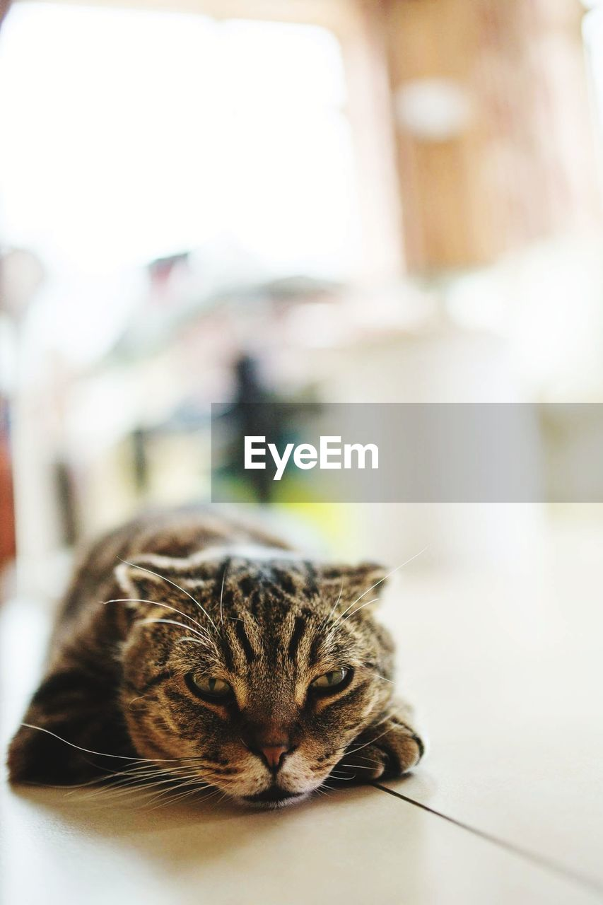 cat, domestic cat, feline, domestic, pets, mammal, domestic animals, one animal, focus on foreground, vertebrate, indoors, relaxation, no people, whisker, close-up, table, day, tabby