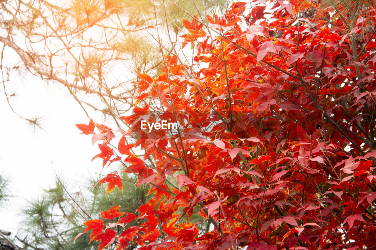 autumn, leaf, nature, change, tree, orange color, growth, beauty in nature, red, maple tree, outdoors, low angle view, day, branch, no people, maple leaf, flower, close-up, maple, sky