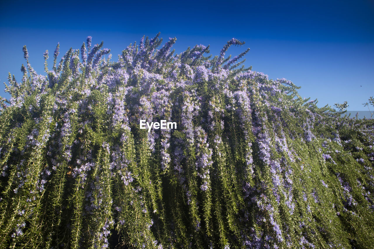 plant, growth, flower, beauty in nature, flowering plant, nature, fragility, sky, vulnerability, no people, day, tree, sunlight, outdoors, freshness, low angle view, tranquility, close-up, springtime, blue, purple, spring