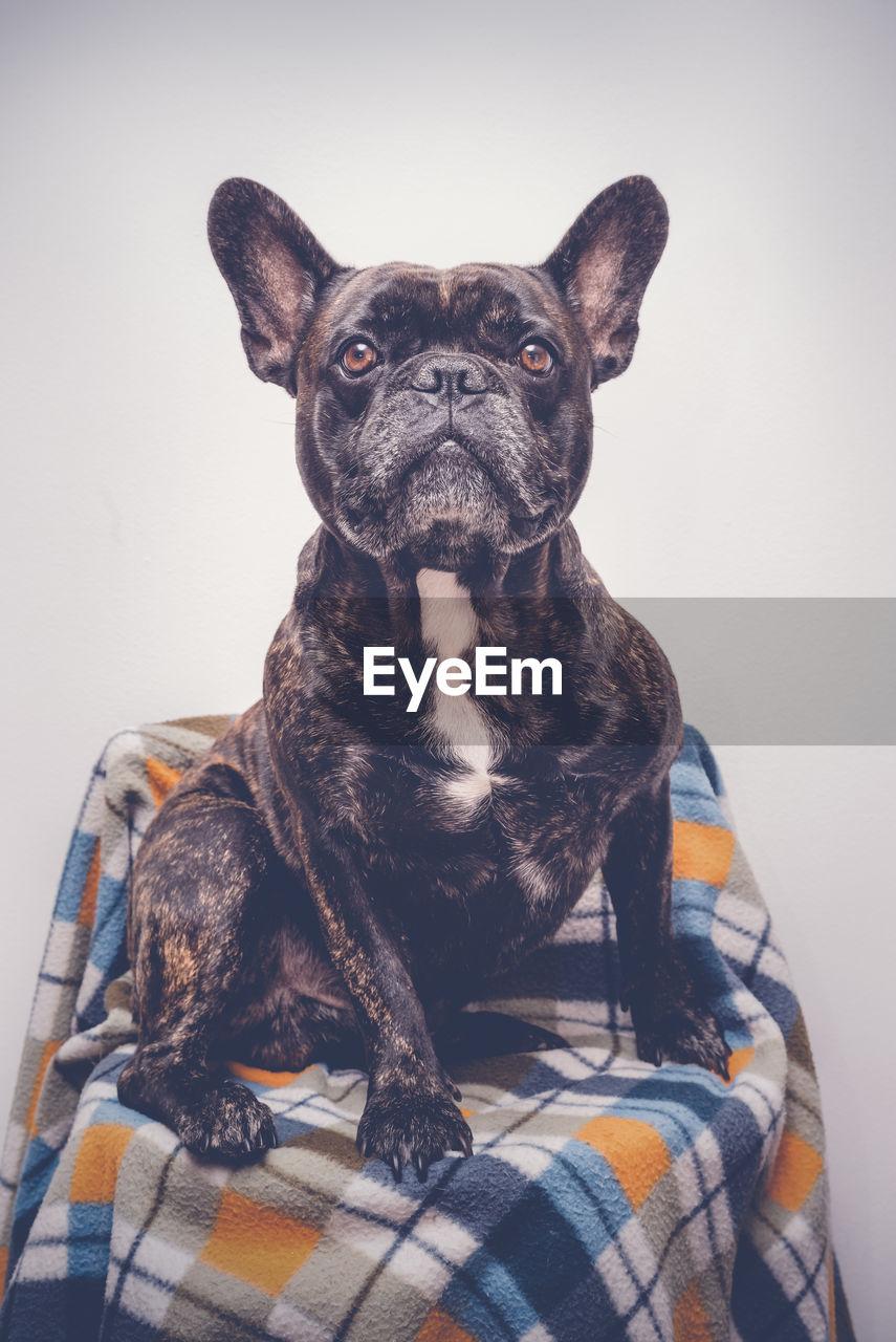 Portrait Of Dog Sitting Against Gray Background