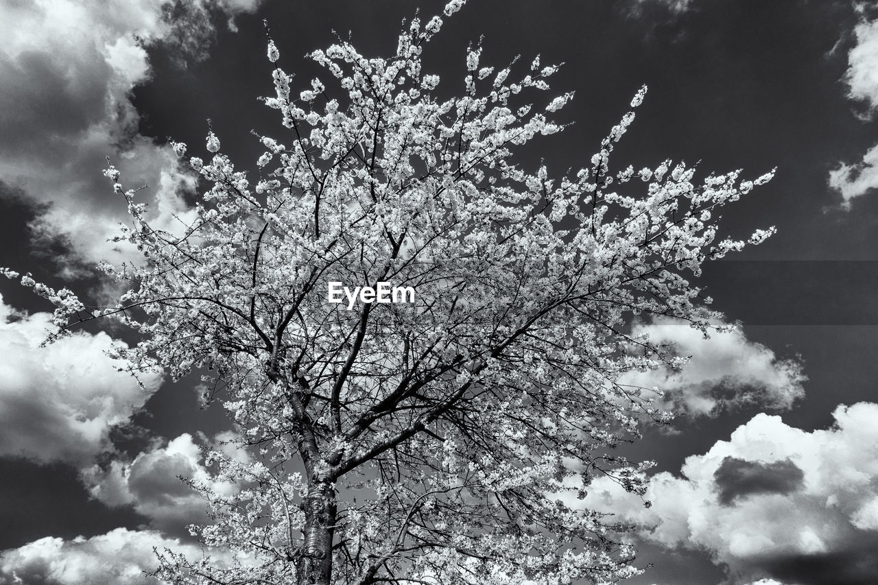 sky, plant, cloud - sky, beauty in nature, low angle view, nature, growth, tree, flower, no people, flowering plant, day, blossom, tranquility, springtime, branch, fragility, outdoors, scenics - nature, white color, cherry blossom, cherry tree