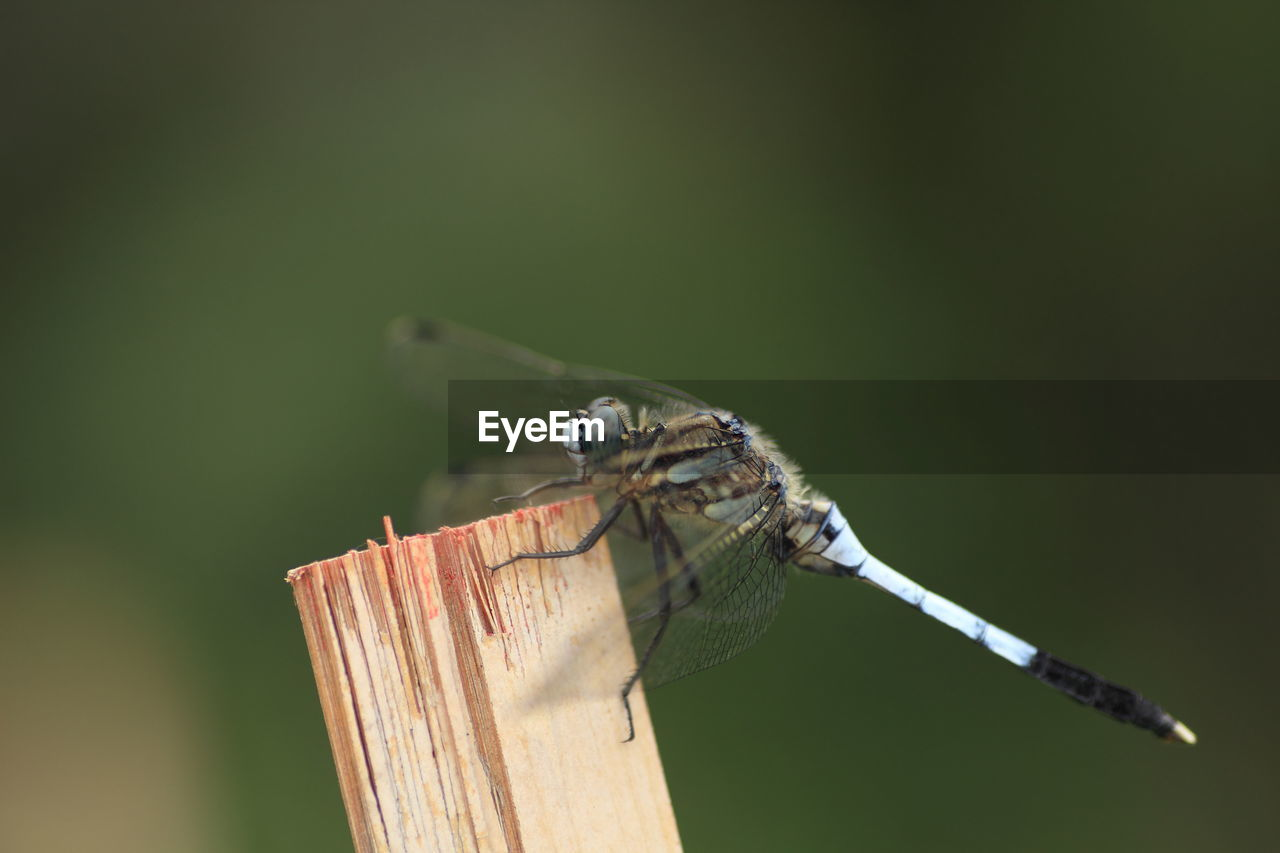 Close-up of dragonfly perching on wood