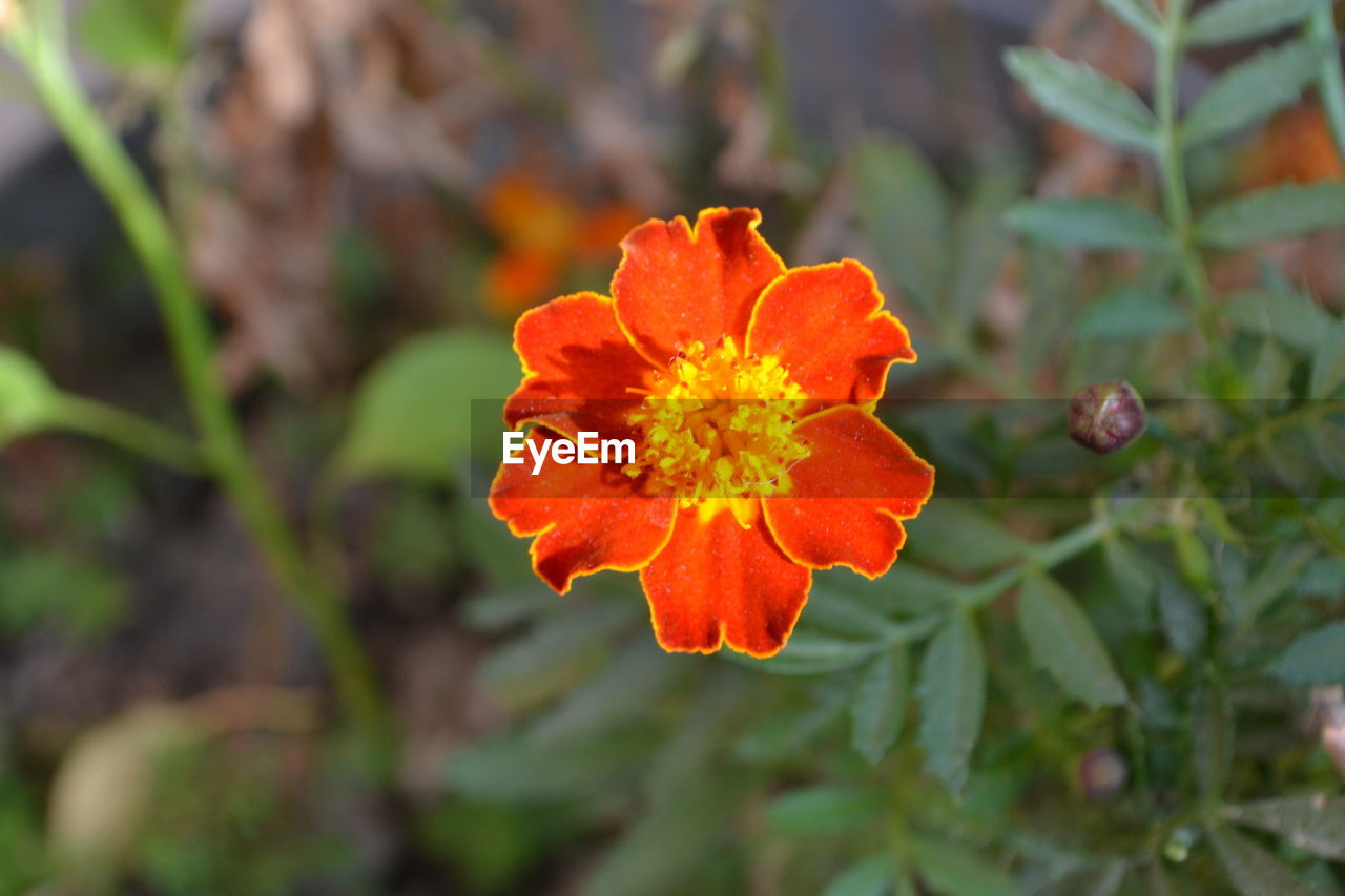 flower, orange color, growth, petal, nature, beauty in nature, plant, flower head, fragility, day, freshness, blooming, no people, outdoors, close-up
