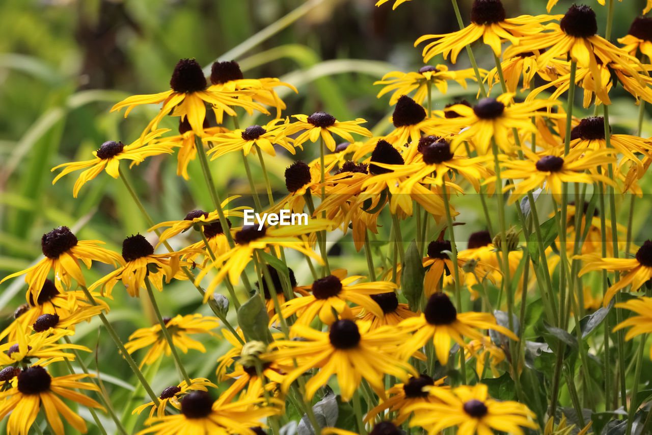 flower, flowering plant, yellow, growth, plant, fragility, vulnerability, freshness, petal, beauty in nature, flower head, coneflower, inflorescence, close-up, black-eyed susan, day, nature, no people, selective focus, outdoors, pollen