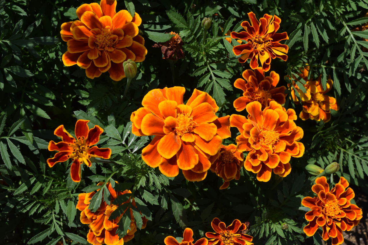 flowering plant, flower, petal, fragility, vulnerability, freshness, beauty in nature, flower head, growth, orange color, inflorescence, plant, no people, nature, close-up, marigold, day, high angle view, outdoors, botany, orange