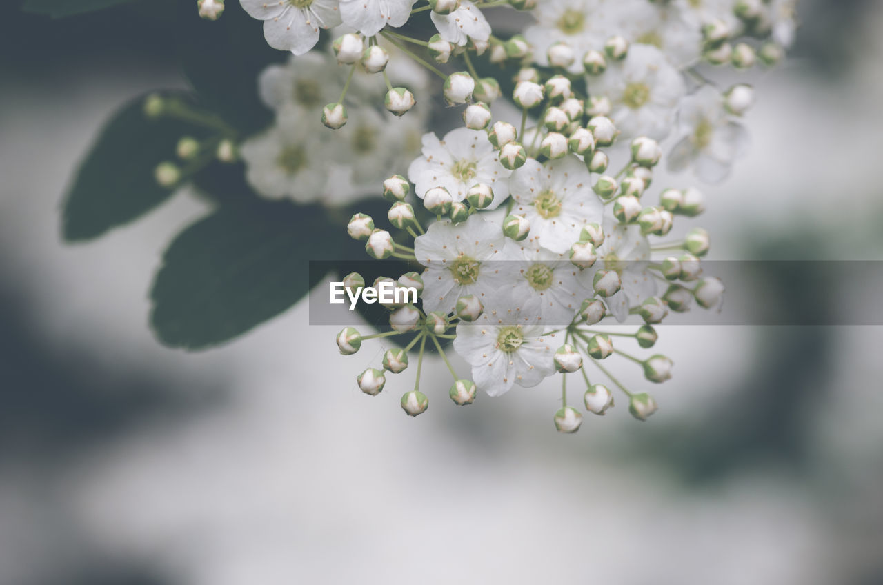 beauty in nature, freshness, growth, plant, fragility, vulnerability, flower, flowering plant, close-up, nature, focus on foreground, day, white color, selective focus, no people, outdoors, springtime, blossom, tree, tranquility, flower head, cherry blossom