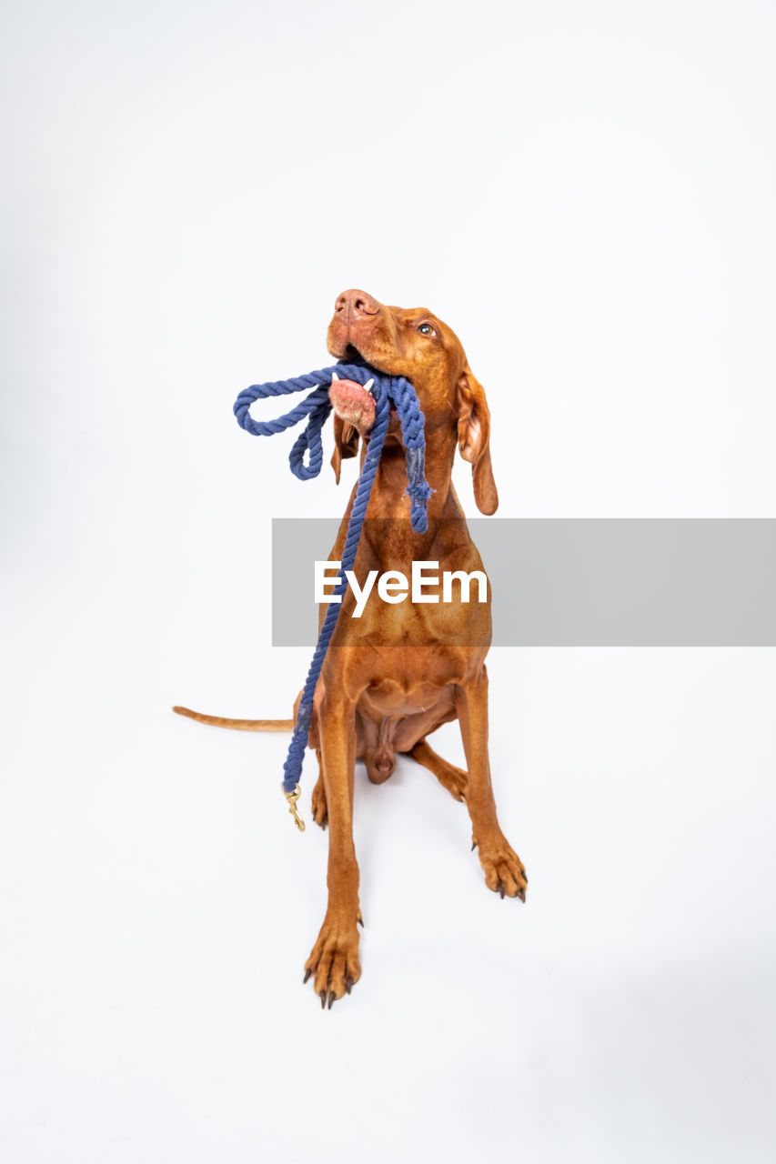 one animal, mammal, white background, domestic, domestic animals, animal, studio shot, canine, dog, animal themes, pets, vertebrate, copy space, indoors, brown, no people, full length, cut out, front view, looking away, purebred dog