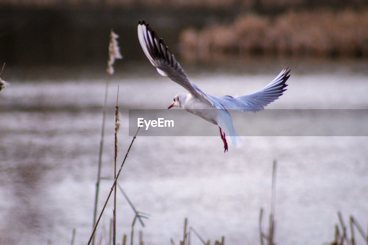 bird, flying, spread wings, animals in the wild, animal wildlife, animal, animal themes, vertebrate, water, one animal, mid-air, motion, seagull, focus on foreground, beauty in nature, sea, no people, nature, day, flapping, freshwater bird