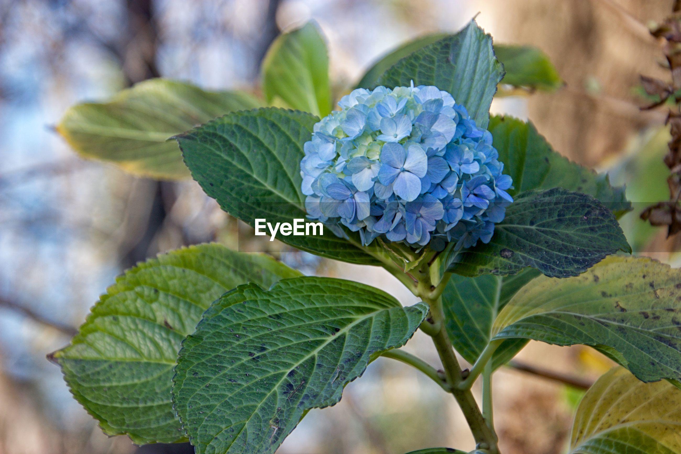 CLOSE-UP OF PURPLE HYDRANGEA FLOWER