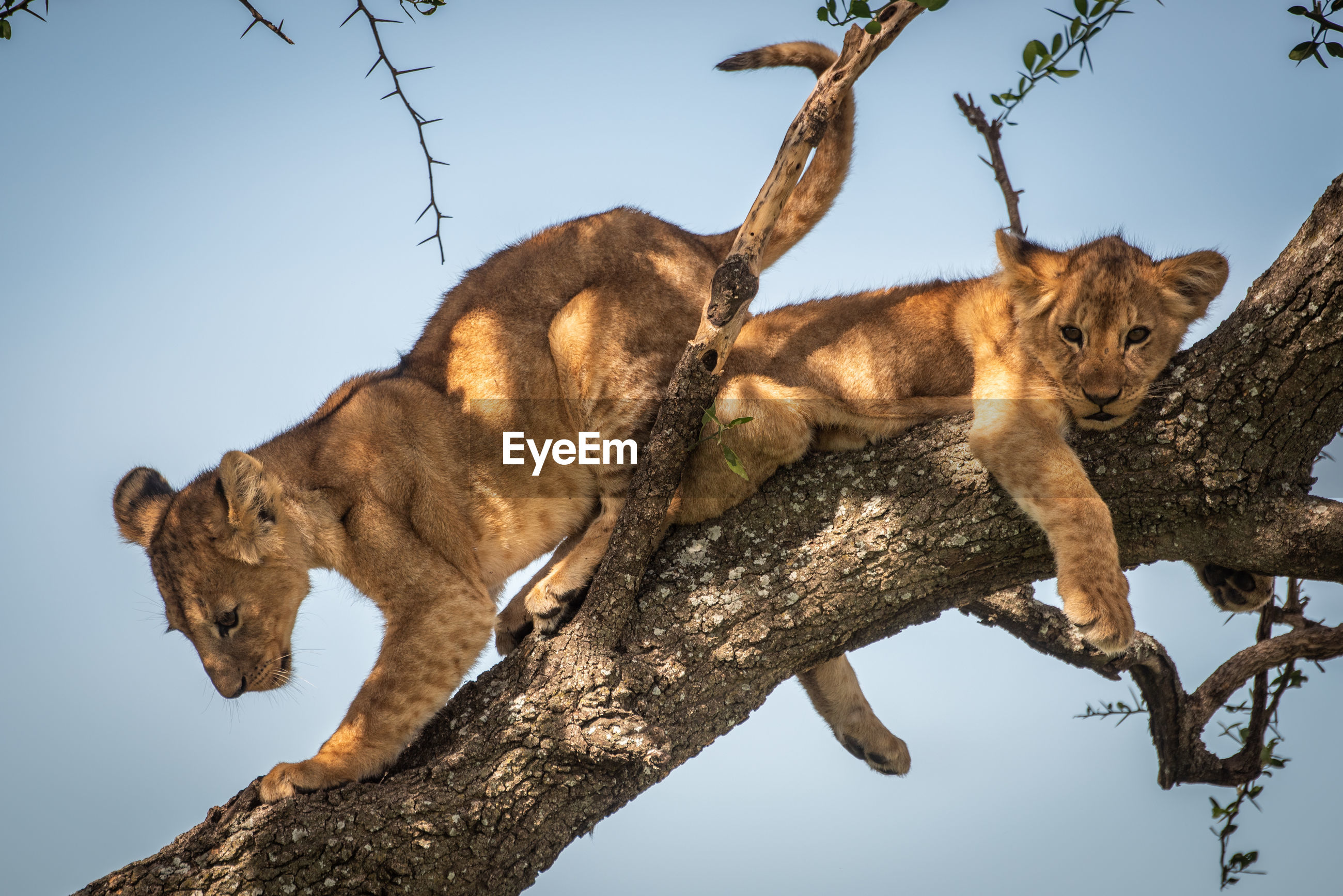 Low angle view of lion cubs resting on tree trunk