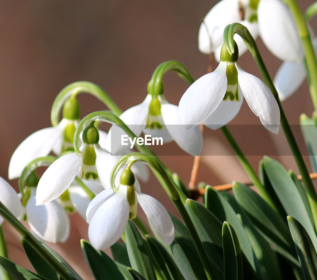 white color, nature, growth, petal, beauty in nature, fragility, plant, snowdrop, flower, freshness, flower head, close-up, no people, leaf, green color, day, blooming, outdoors