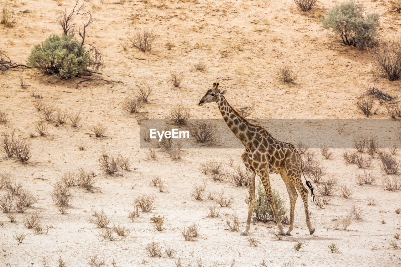 VIEW OF GIRAFFE IN THE FOREST