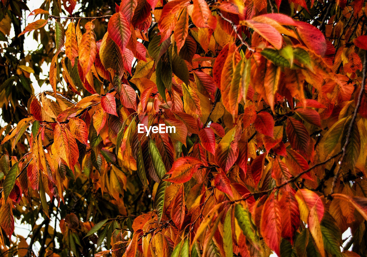 leaf, autumn, change, plant part, plant, beauty in nature, orange color, tree, nature, close-up, day, growth, no people, maple leaf, branch, outdoors, red, sunlight, maple tree, vulnerability, leaves, natural condition, autumn collection, fall