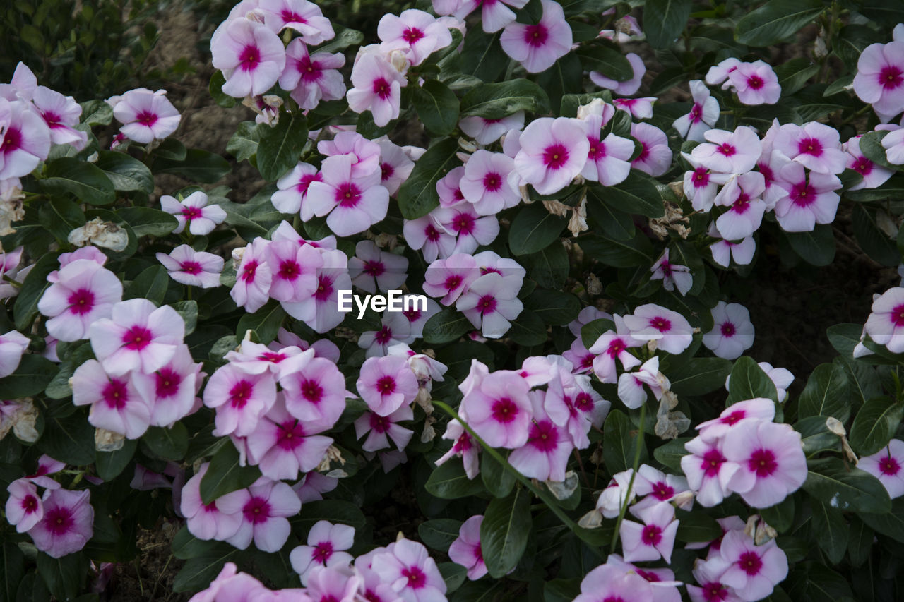 flower, growth, petal, fragility, plant, nature, blooming, beauty in nature, freshness, day, flower head, pink color, outdoors, no people, leaf, close-up, periwinkle