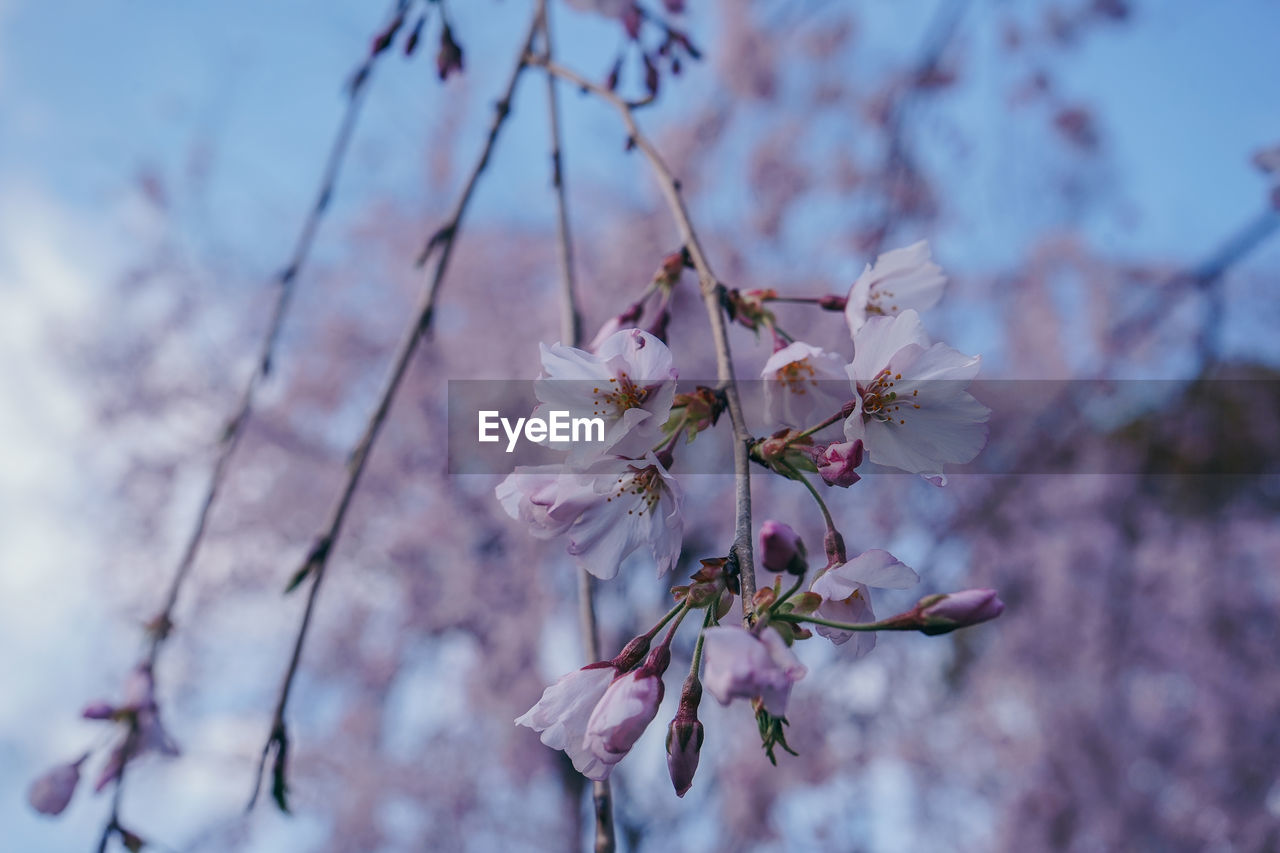 flowering plant, flower, fragility, plant, vulnerability, beauty in nature, freshness, growth, tree, close-up, blossom, springtime, branch, nature, day, cherry blossom, pink color, no people, petal, selective focus, flower head, cherry tree, outdoors, pollen, purple, spring