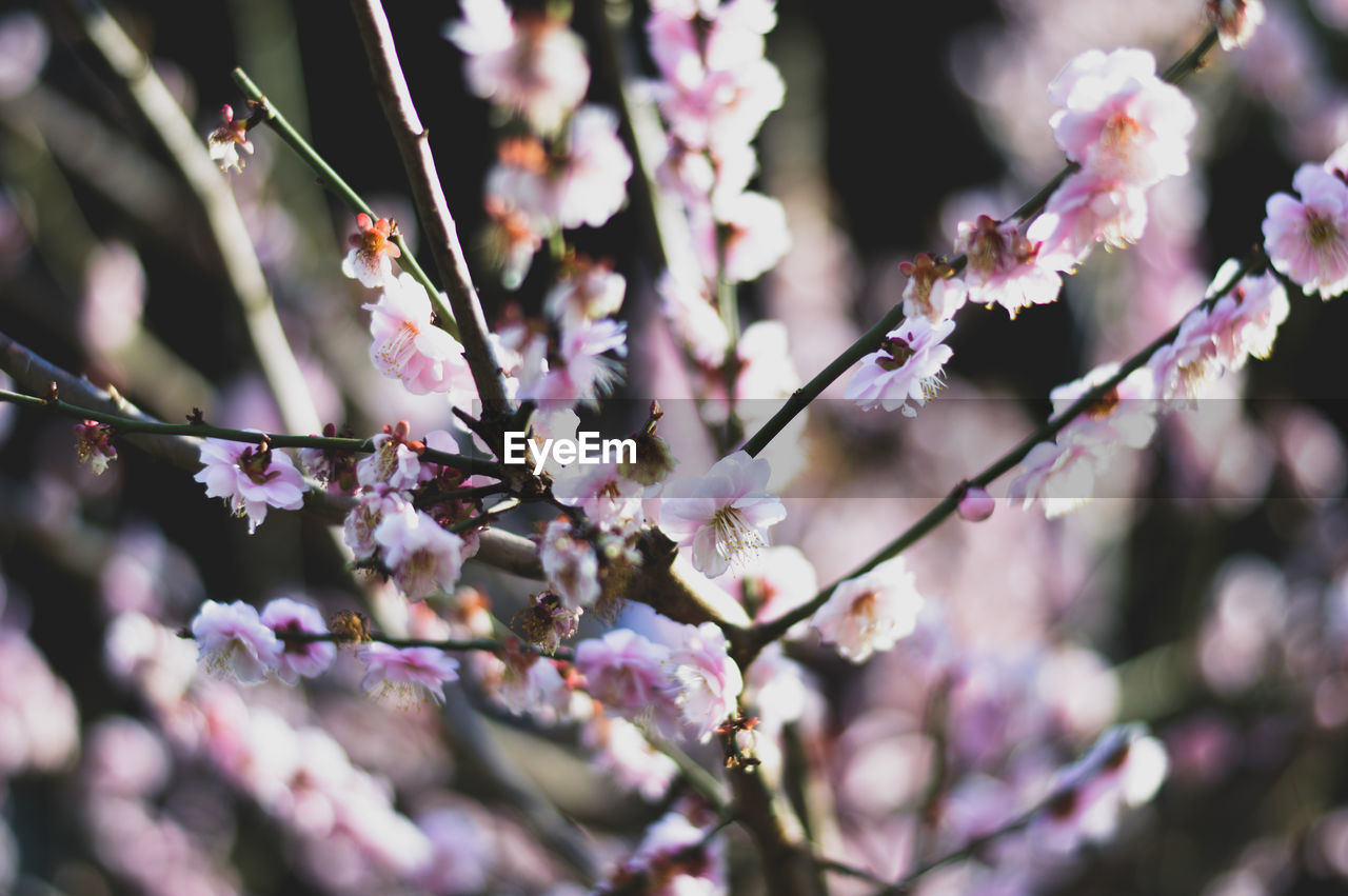 CLOSE-UP OF PINK BLOSSOMS ON BRANCH