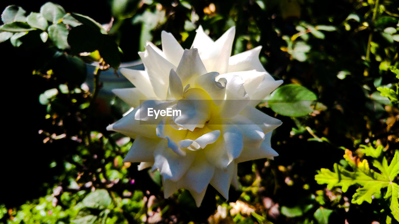flower, petal, nature, growth, white color, beauty in nature, flower head, fragility, plant, outdoors, day, no people, close-up, blooming, freshness