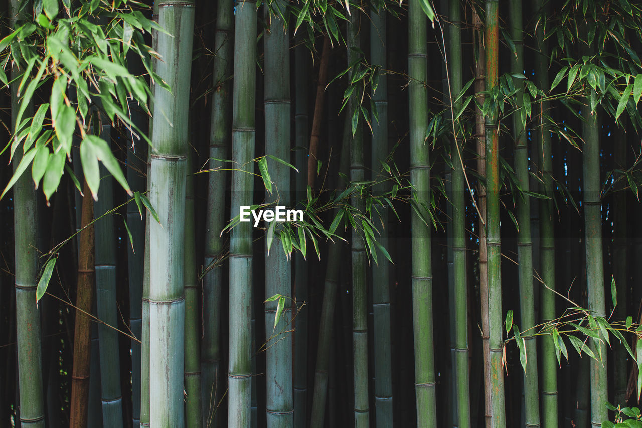 Bamboo Trees In Park