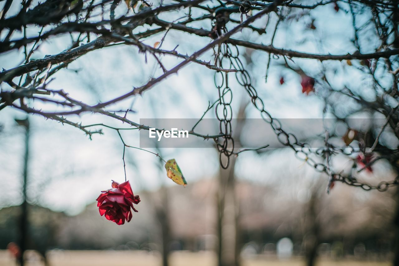 plant, tree, focus on foreground, red, flower, nature, branch, beauty in nature, no people, day, flowering plant, close-up, hanging, growth, freshness, outdoors, fragility, vulnerability, twig, flower head