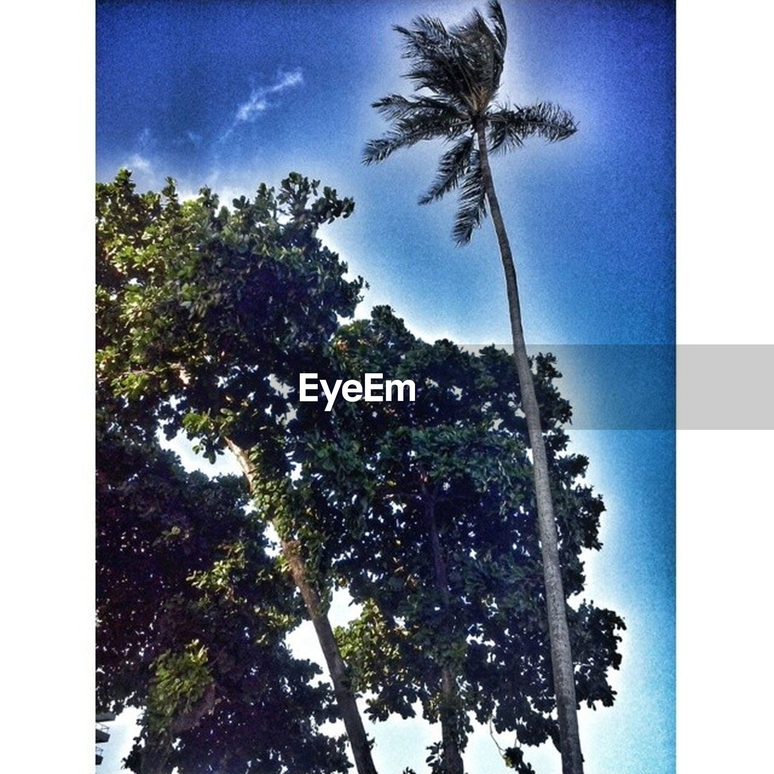 transfer print, tree, palm tree, auto post production filter, growth, sky, low angle view, nature, tree trunk, blue, tranquility, beauty in nature, branch, scenics, green color, tranquil scene, no people, cloud, day, tall - high