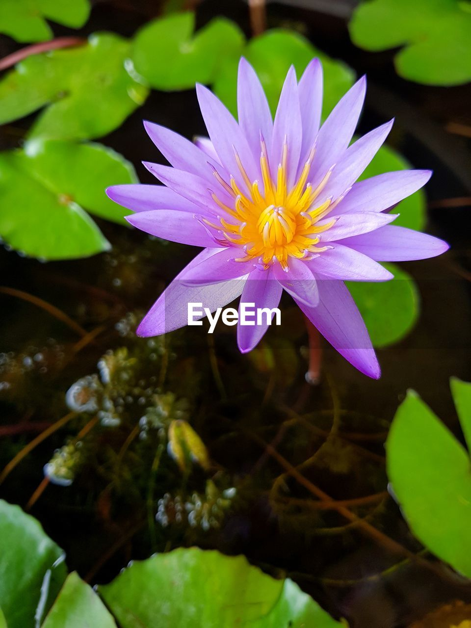 flower, beauty in nature, petal, nature, fragility, freshness, growth, plant, flower head, water, no people, water lily, leaf, close-up, blooming, outdoors, lotus water lily, day