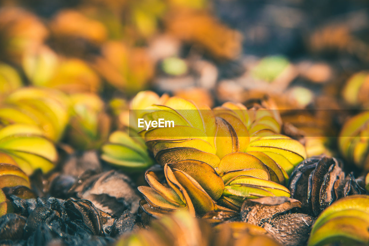 nature, selective focus, no people, beauty in nature, close-up, yellow, freshness, day, outdoors, fragility