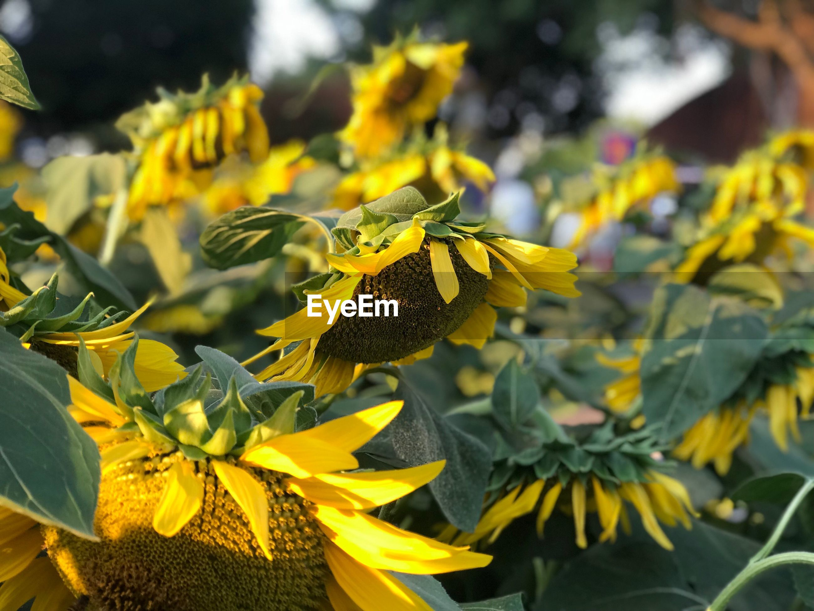 Close-up of sunflower plants