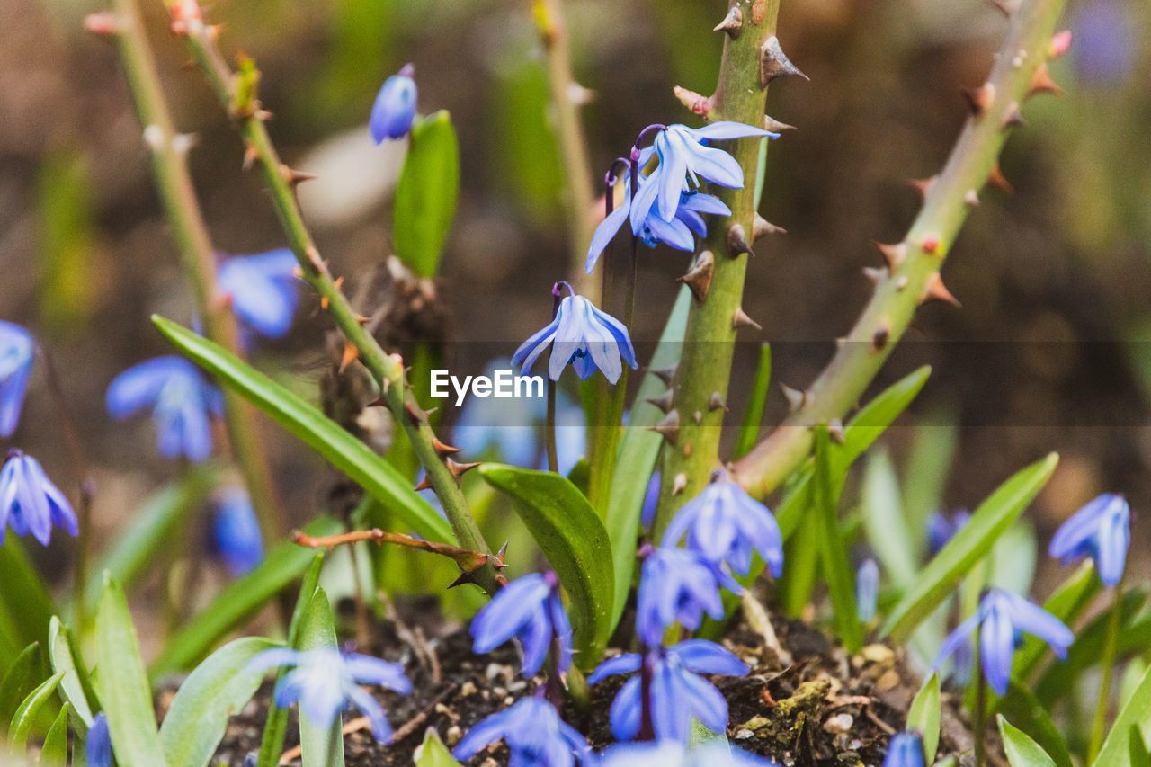 flowering plant, flower, plant, fragility, vulnerability, purple, growth, beauty in nature, freshness, petal, close-up, nature, selective focus, inflorescence, flower head, no people, day, land, field, blue, springtime, iris, iris - plant