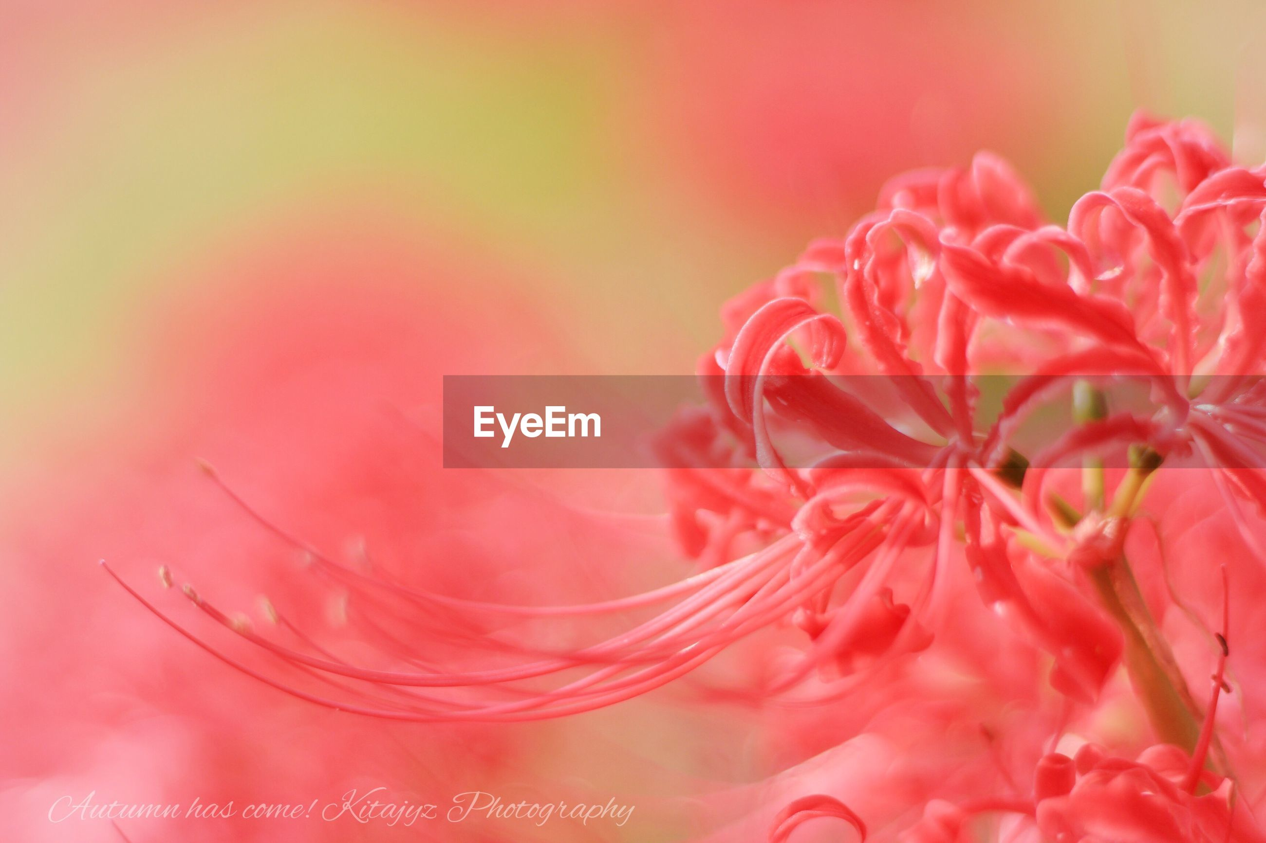 fragility, flower, freshness, petal, close-up, beauty in nature, flower head, selective focus, nature, single flower, pink color, macro, extreme close-up, dew, growth, focus on foreground, vibrant color, day, springtime, softness, blossom, soft focus, full frame, in bloom, scenics, purity, no people, botany