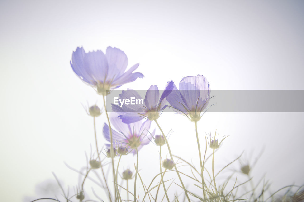 flower, flowering plant, plant, freshness, vulnerability, beauty in nature, fragility, petal, growth, close-up, sky, nature, no people, inflorescence, flower head, selective focus, day, cosmos flower, outdoors, low angle view, purple, sepal