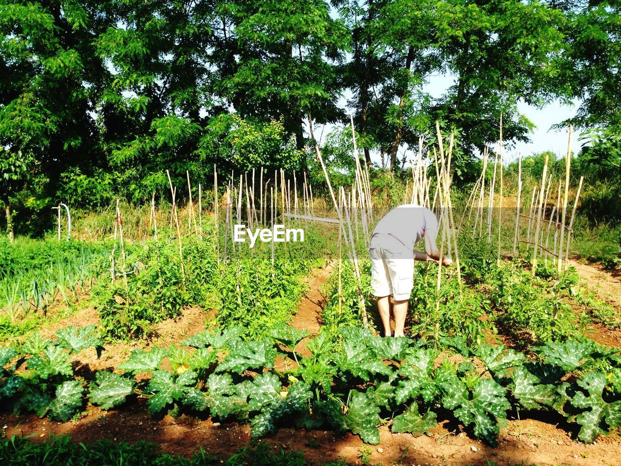 Rear view of man in tomato garden