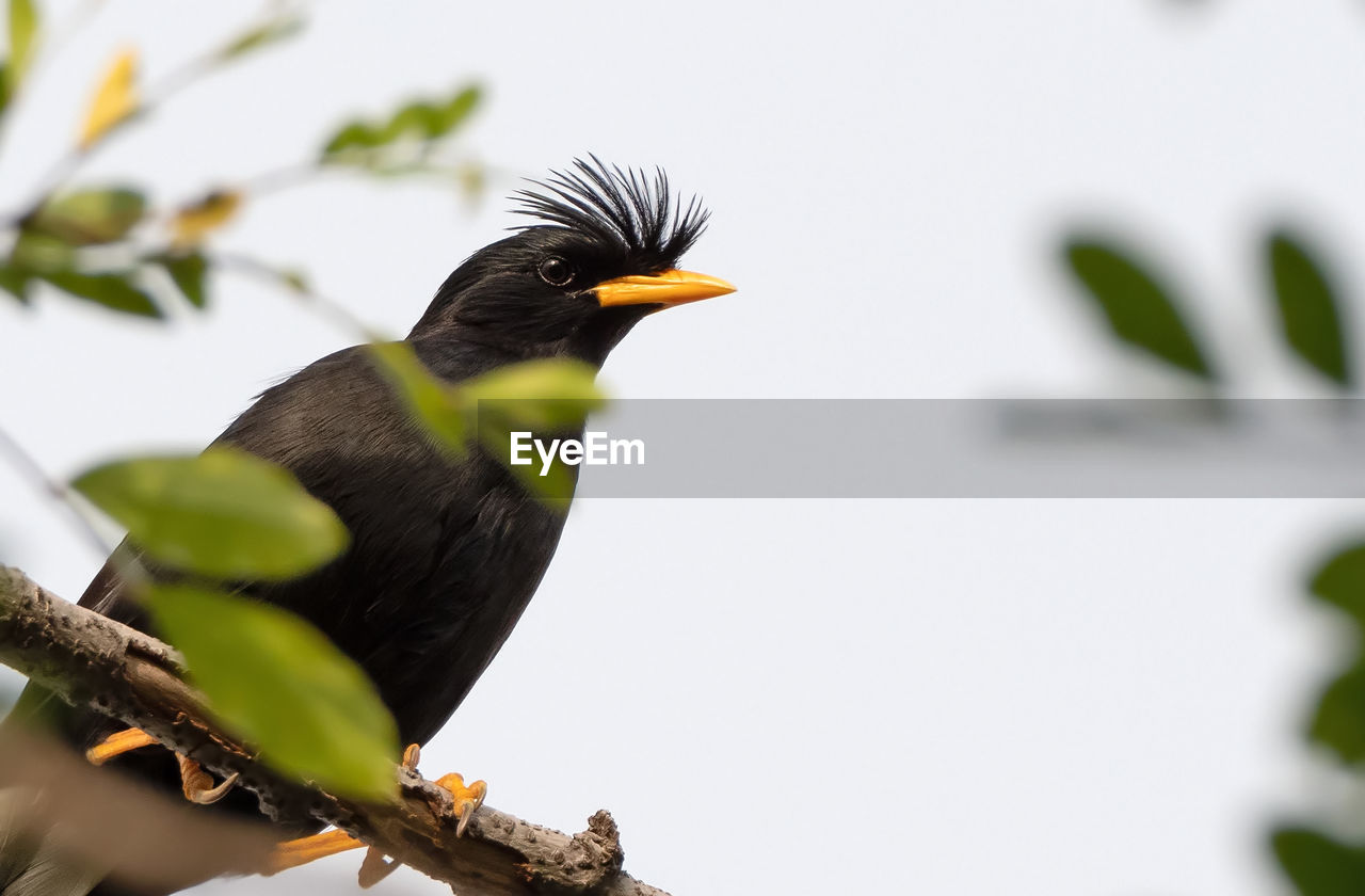 bird, animal themes, animal, animal wildlife, vertebrate, animals in the wild, one animal, perching, no people, nature, day, plant, beak, selective focus, focus on foreground, tree, branch, close-up, black color, outdoors, blackbird