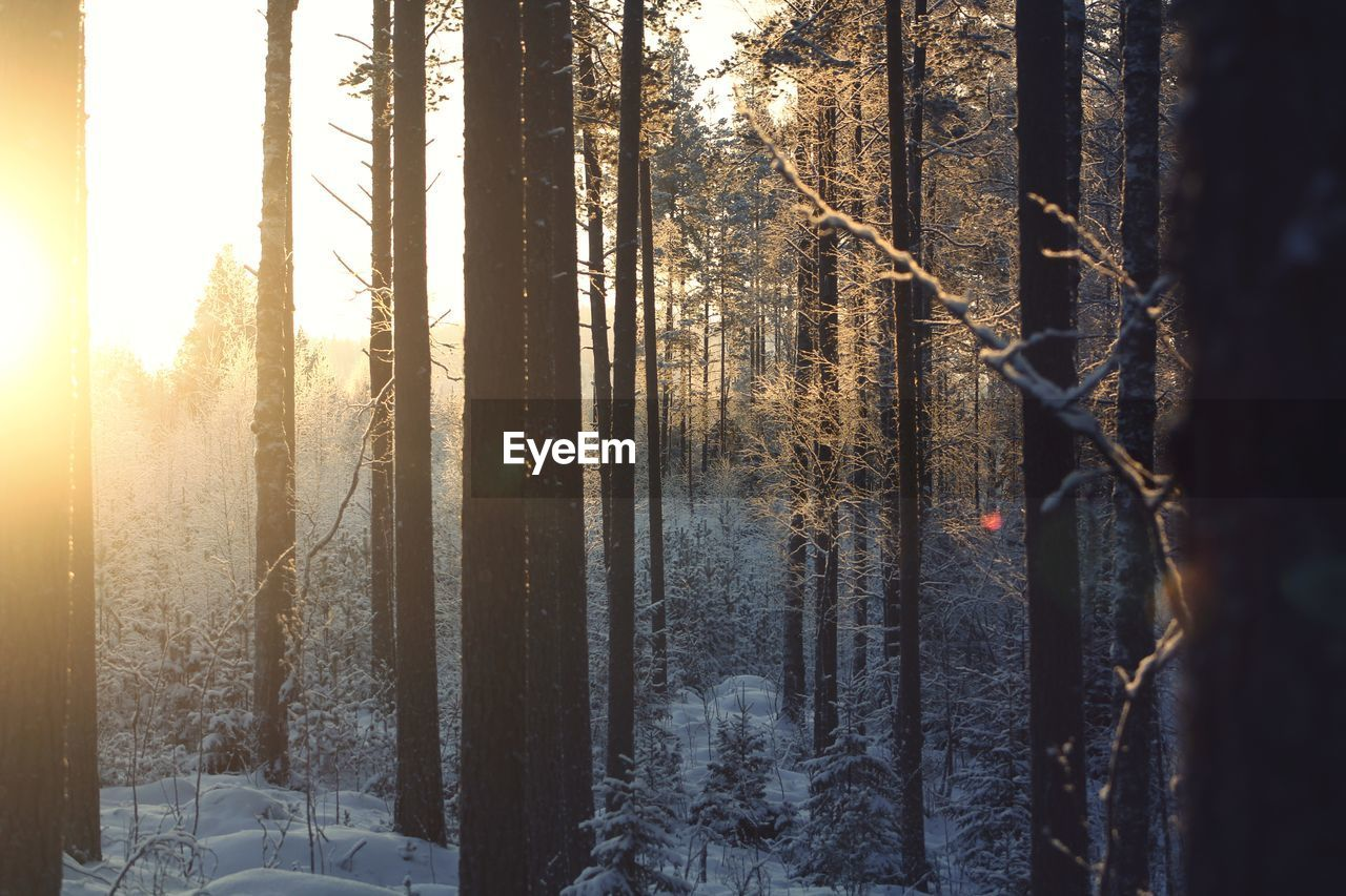 tree, winter, tree trunk, trunk, cold temperature, forest, nature, land, plant, snow, woodland, no people, sunlight, sunset, beauty in nature, day, environment, outdoors, tranquility
