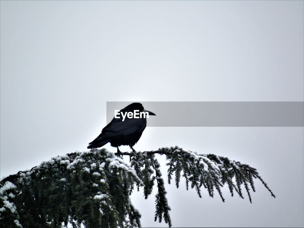 animals in the wild, bird, animal wildlife, animal, animal themes, vertebrate, one animal, tree, sky, perching, plant, clear sky, no people, copy space, low angle view, nature, day, black color, outdoors, beauty in nature
