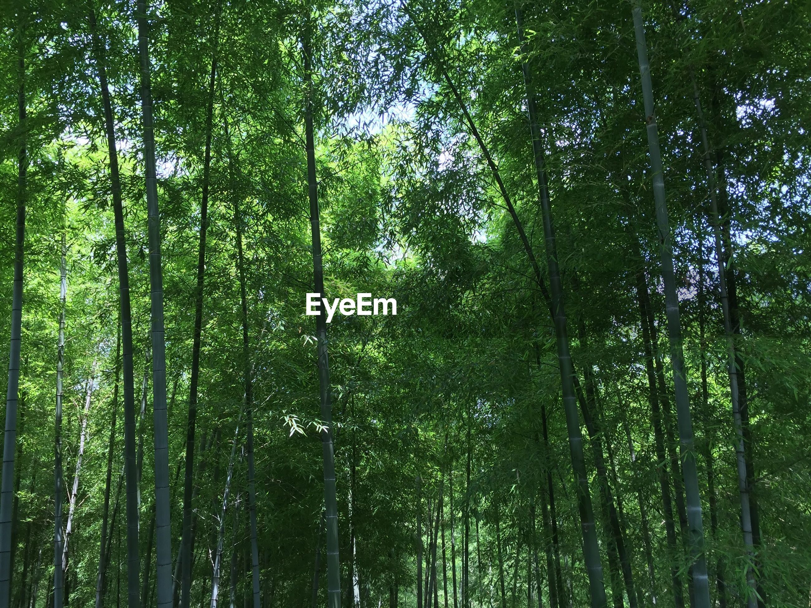 Low angle view of bamboos growing in forest