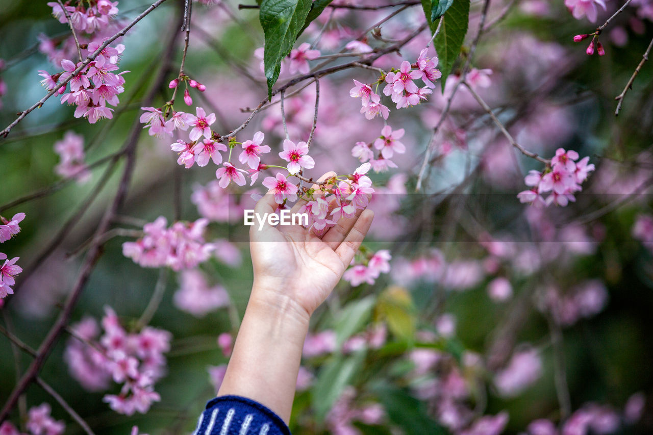 Close-up of woman touching cherry blossom