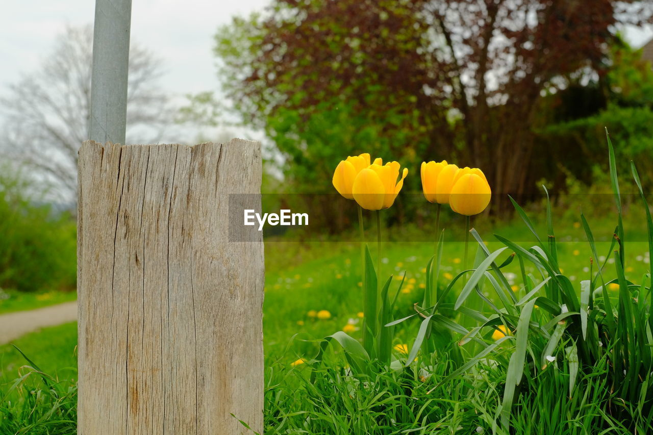 plant, flower, growth, freshness, flowering plant, focus on foreground, field, beauty in nature, grass, nature, tree, yellow, land, fragility, no people, day, close-up, vulnerability, wood - material, green color, flower head, outdoors, wooden post, bark