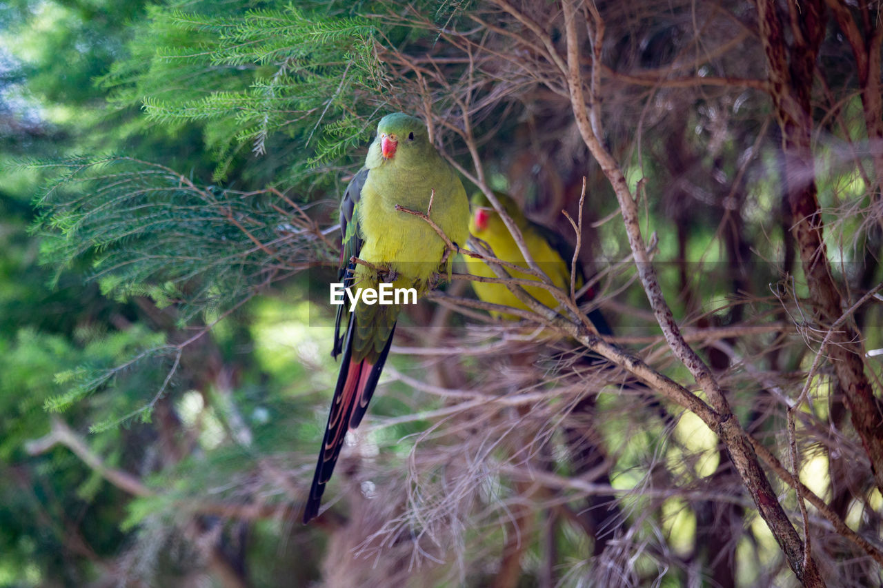animal themes, animal, bird, one animal, animal wildlife, vertebrate, animals in the wild, perching, tree, plant, branch, nature, no people, day, outdoors, yellow, beauty in nature, focus on foreground, selective focus, green color