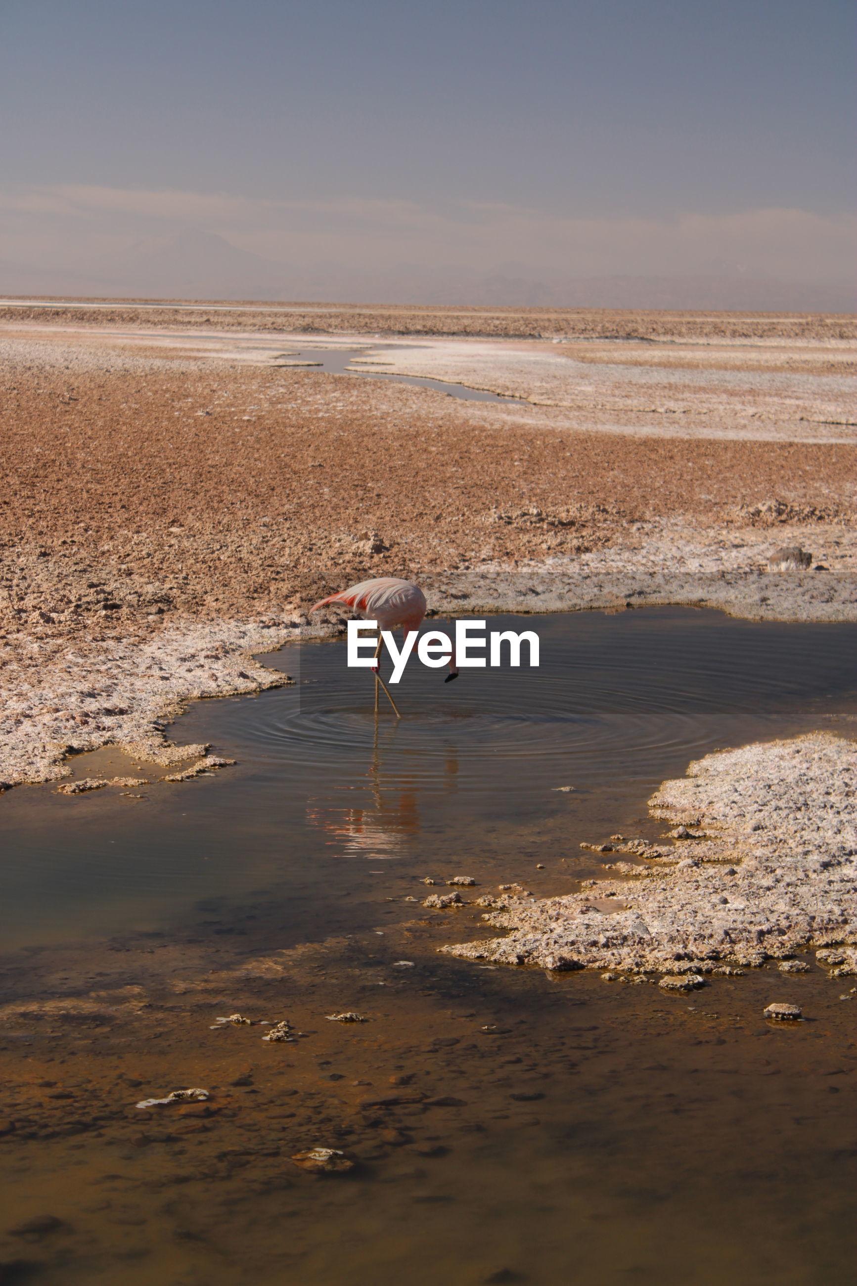 Pink flamingo feeding in laguna chaxa, atacama desert, chile