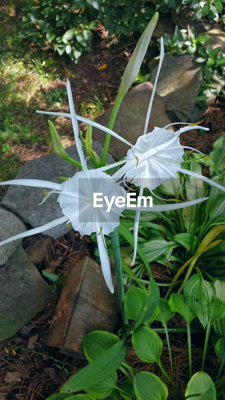 flower, fragility, petal, growth, high angle view, leaf, flower head, white color, nature, day, plant, beauty in nature, outdoors, freshness, no people, close-up, blooming, periwinkle