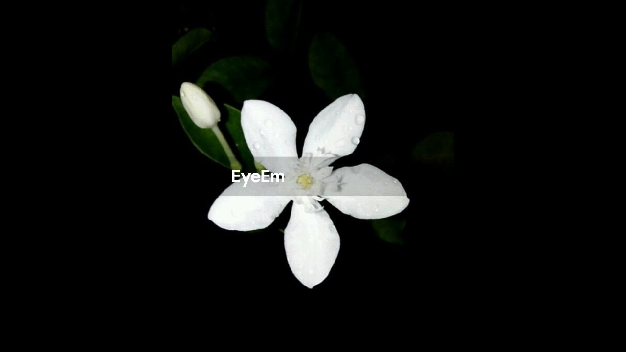 flower, white color, beauty in nature, petal, nature, close-up, night, flower head, freshness, fragility, no people, black background, growth, blooming, outdoors, periwinkle