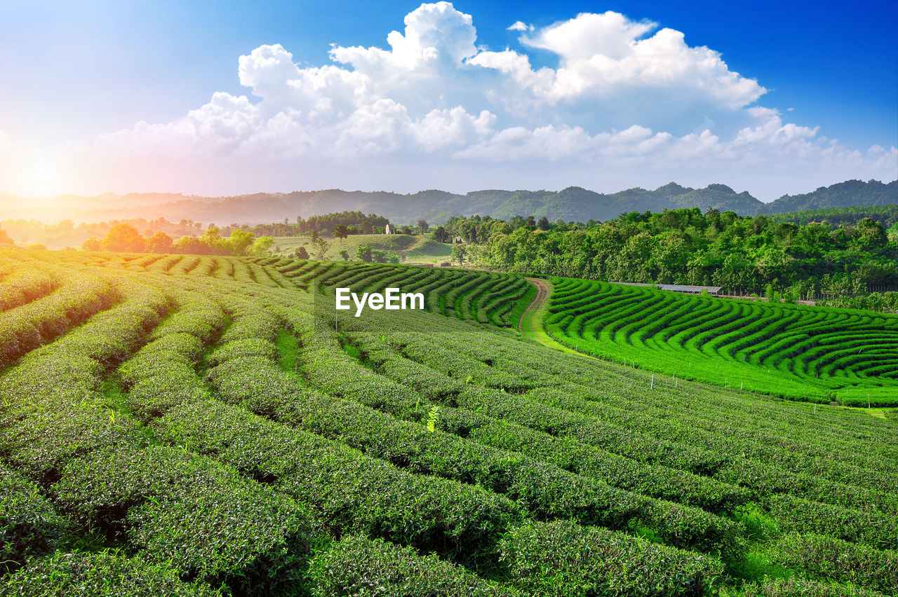 scenics - nature, green color, agriculture, landscape, field, beauty in nature, sky, land, tranquil scene, plant, growth, rural scene, cloud - sky, crop, tranquility, environment, farm, nature, no people, idyllic, plantation, tea crop, outdoors