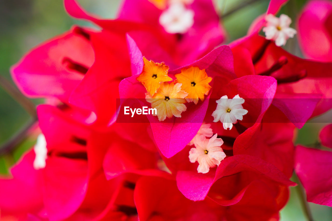 flowering plant, flower, plant, petal, freshness, fragility, vulnerability, beauty in nature, growth, close-up, flower head, inflorescence, nature, pollen, no people, focus on foreground, pink color, day, red, selective focus