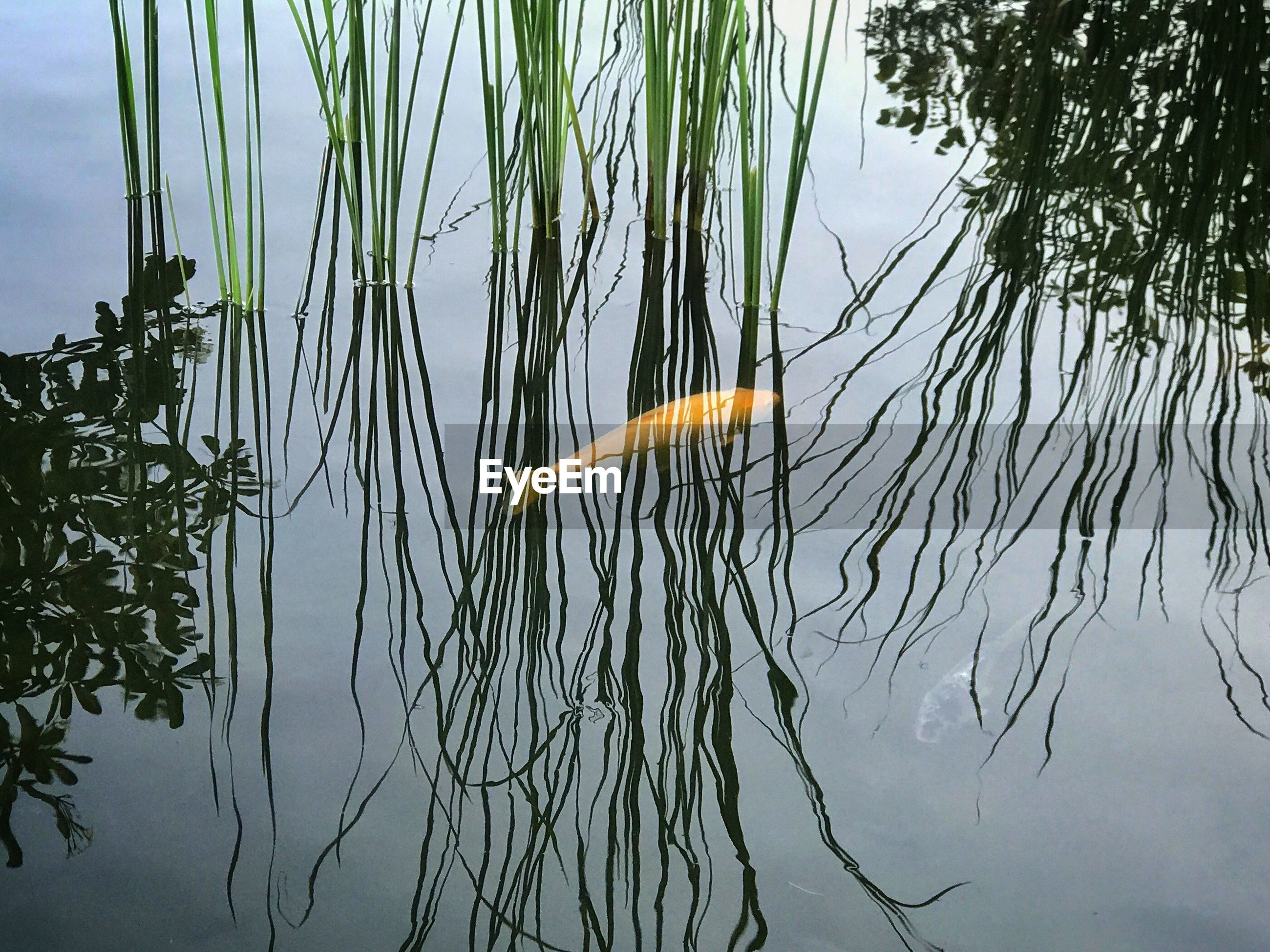 High angle view of fish swimming in pond by grasses