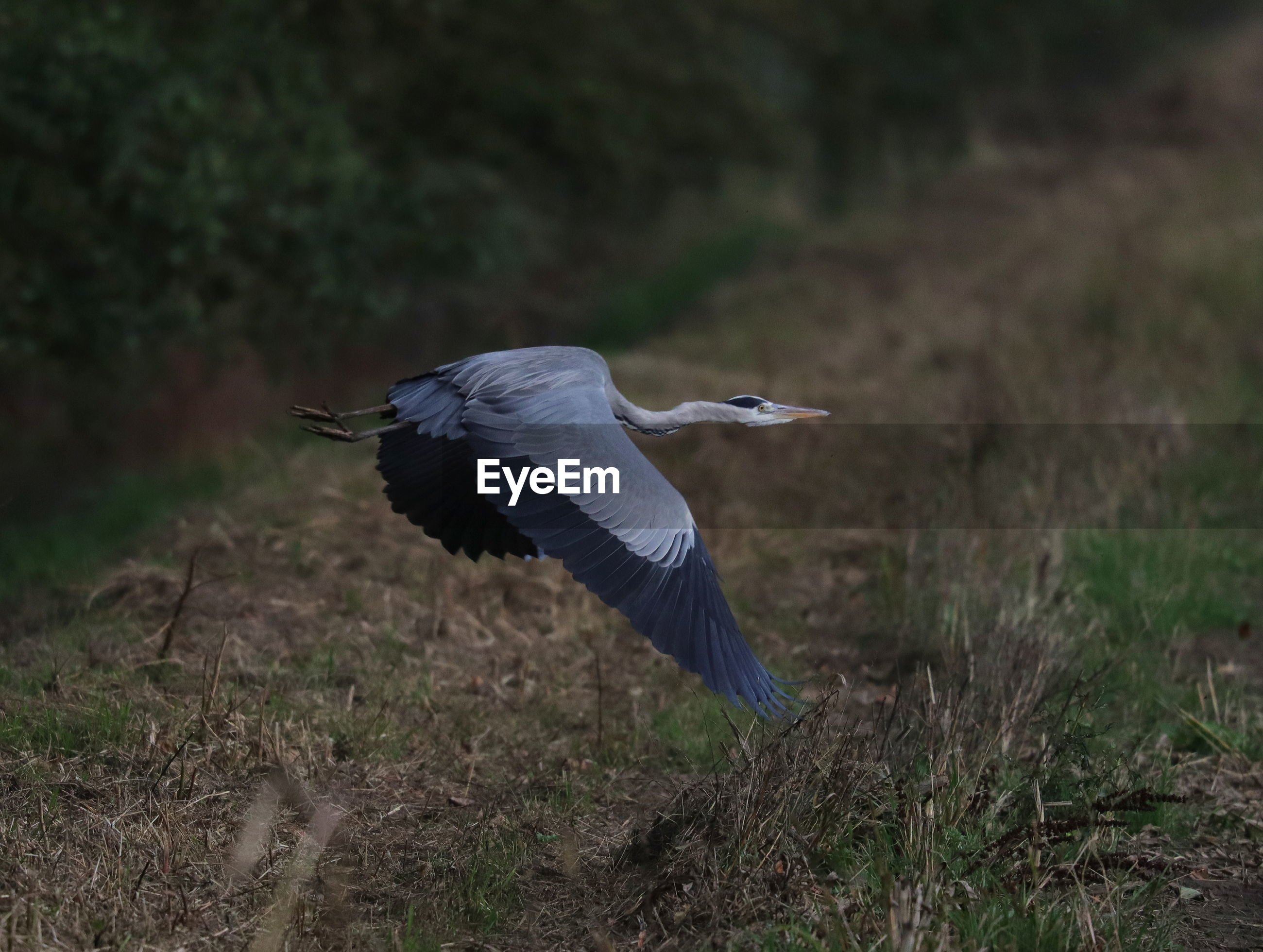 HIGH ANGLE VIEW OF HERON ON FIELD