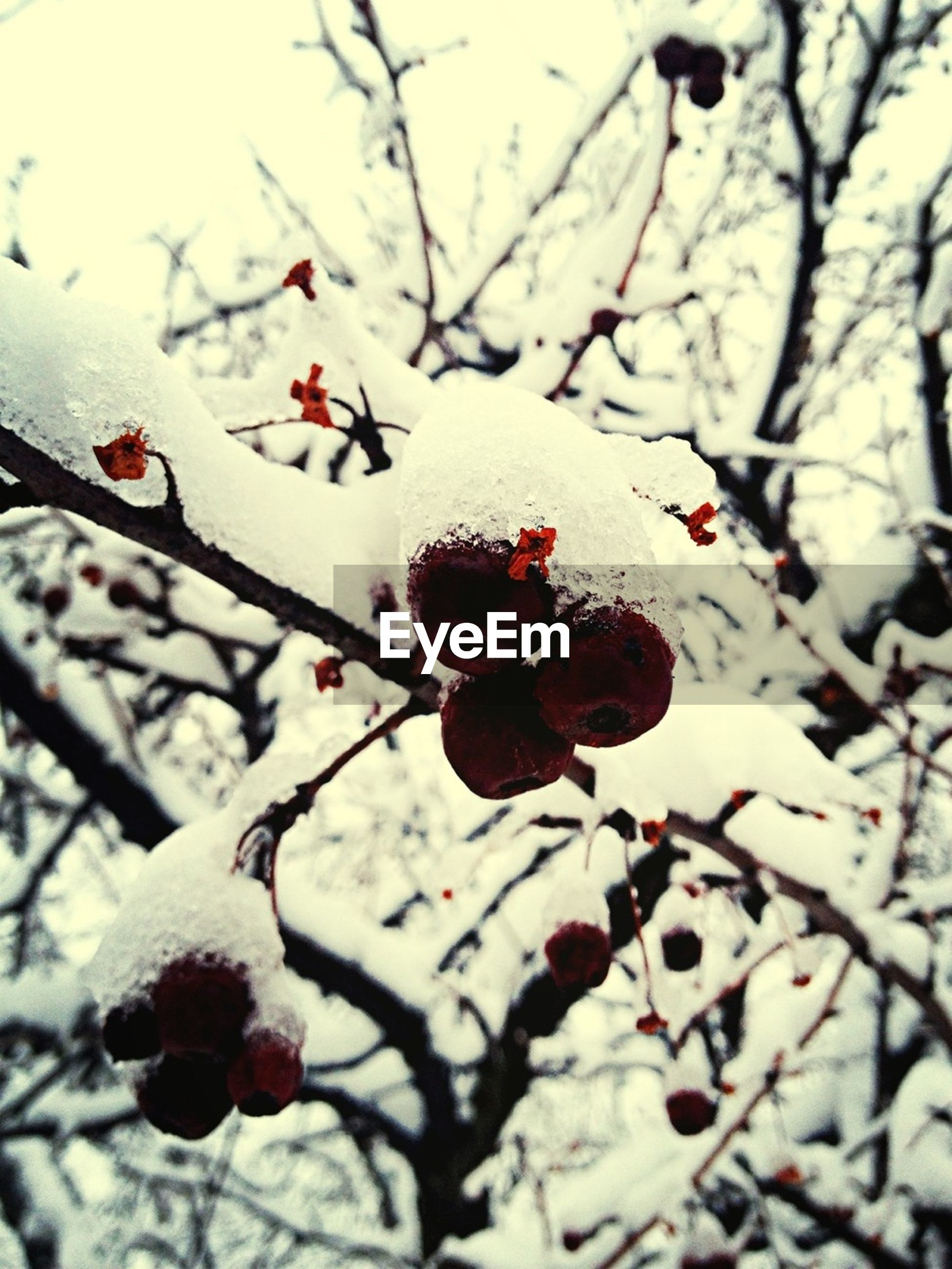 branch, winter, snow, cold temperature, tree, season, nature, twig, bare tree, focus on foreground, close-up, frozen, fruit, growth, red, freshness, weather, cherry tree, berry fruit, beauty in nature