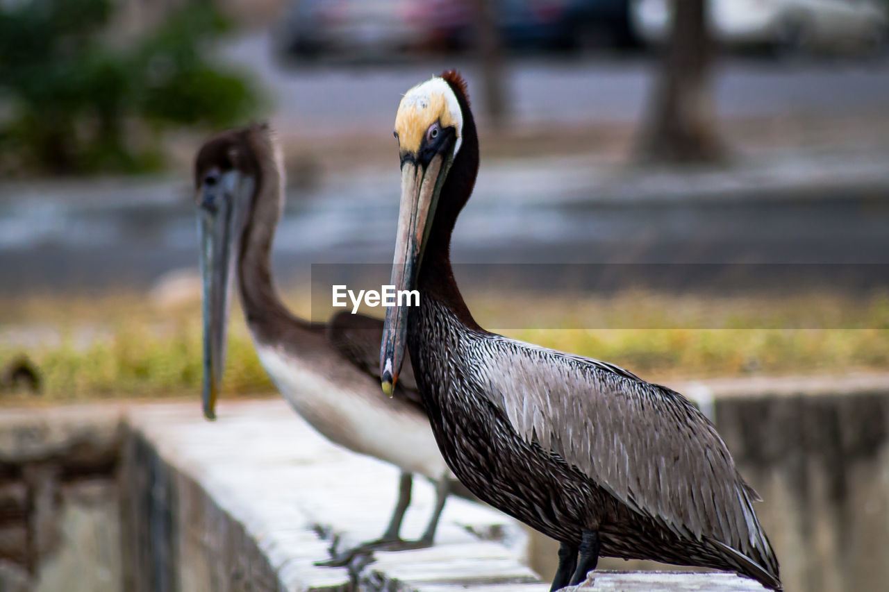 bird, animal, animal themes, vertebrate, animal wildlife, animals in the wild, focus on foreground, one animal, beak, day, no people, nature, close-up, pelican, water bird, outdoors, perching, heron, side view, zoology, animal neck