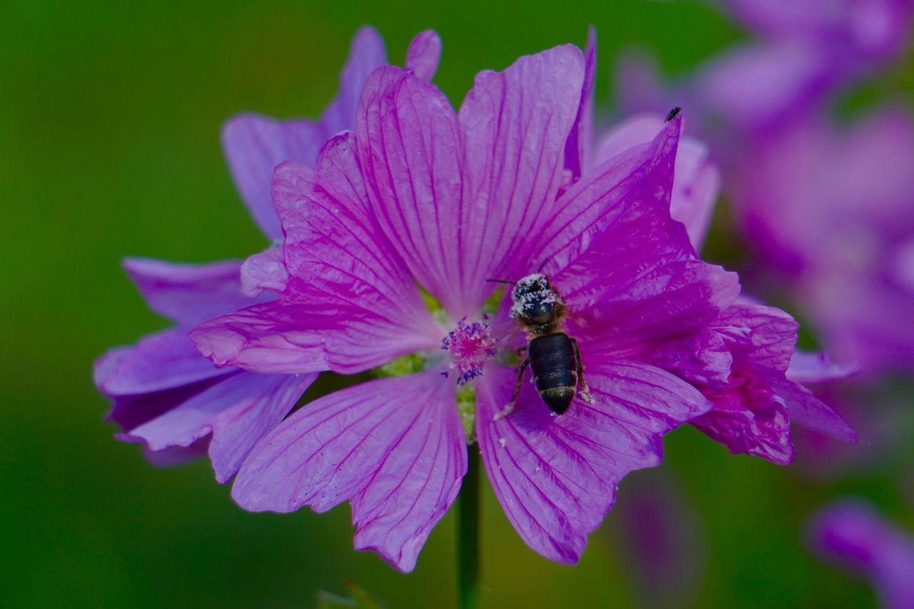 flowering plant, flower, petal, fragility, vulnerability, beauty in nature, flower head, freshness, insect, animals in the wild, plant, invertebrate, animal themes, one animal, animal, animal wildlife, growth, inflorescence, close-up, bee, pink color, purple, pollen, no people, pollination